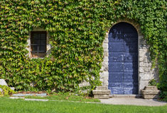 Ivy Covered Exterior Wall of a Historic Building Royalty Free Stock Photography