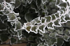 Ivy covered with frost Royalty Free Stock Images