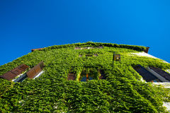 Ivy Covered House Wall Royalty Free Stock Images
