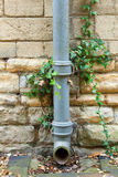 Ivy covered iron drainpipe Stock Image