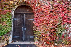 Ivy Covered Old Winery Door Stock Image