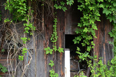 Ivy covered shed Stock Photo