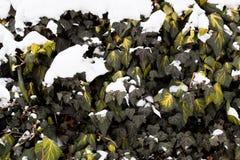 Ivy Covered With Snow común Imágenes de archivo libres de regalías