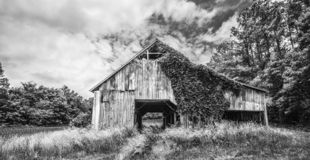 Ivy Covered Tobacco Barn fotografia de stock
