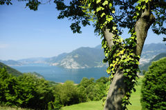 Ivy covered tree and lake Stock Photography