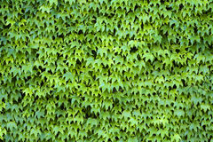 Ivy Covered Wall Stock Image