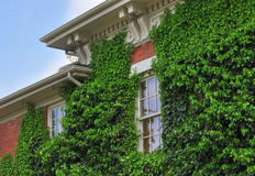 Ivy Covered Wall. Old house with ivy growing up a wall stock photo
