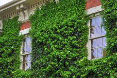 Ivy Covered Wall. Old house with ivy growing up a wall Stock Photos