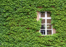 Ivy covered wall Royalty Free Stock Photography