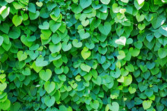 Ivy covered wall Royalty Free Stock Photos