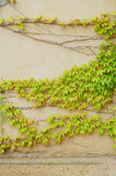 Ivy covered wall Royalty Free Stock Images