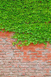 Ivy covered wall Stock Photography