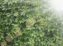 Ivy covered a wall Royalty Free Stock Photography