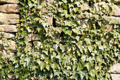 Ivy Covered Wall Royalty Free Stock Photo