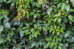 Ivy covered wall. Green ivy covering a wall Royalty Free Stock Photo