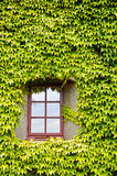 Ivy covered wall and window Royalty Free Stock Photos