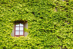 Ivy covered wall and window Royalty Free Stock Image