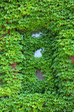 Ivy covered wall and window, newspaper building, Keene, New Hamp Stock Images