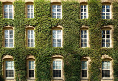 Ivy Covered Wall and Windows Royalty Free Stock Images