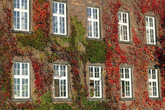 Ivy covered wall with windows Royalty Free Stock Photos