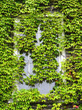 Ivy Covered Window. Old window in University completely covered with green leafy ivy Stock Photography