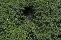 Ivy covered window. Royalty Free Stock Photography