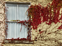 An ivy-covered window in Ireland. Red ivy covers a window of an old manor house in Ireland stock photos