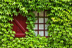 Ivy covered window and shutter Stock Photo