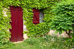 Ivy covered window and shutter Stock Images