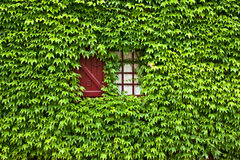 Ivy covered window and shutter Royalty Free Stock Photos