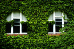 Ivy Covered Windows Lush Green fotografia de stock royalty free