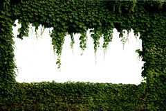 Ivy-covered windows Royalty Free Stock Photo