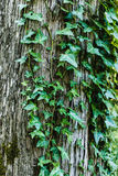 Ivy covering an old tree Stock Image