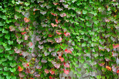 Ivy covering the wall Stock Image