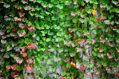 Ivy covering wall Stock Photo
