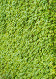 Ivy covering the wall Royalty Free Stock Photography