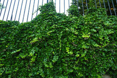 Ivy covers a iron fence. Lush brilliant green ivy vine crawls up a fence next to pavement stones Stock Image