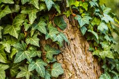 Ivy Covers Tree Trunk image stock