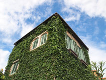 Ivy or creeper Stock Image