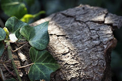 Ivy Creeper op logboekachtergrond Stock Afbeeldingen