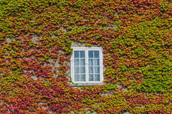 Ivy creeper on a wall Royalty Free Stock Image