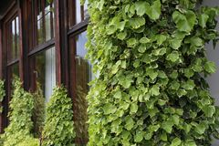 Ivy. creeping shrubs clinging to their adventitious roots of the walls.  stock images