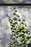 Ivy creeps up an old stone wall Royalty Free Stock Photography