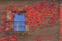 ivy czerwony Obrazy Royalty Free