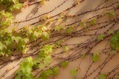 Ivy at Dawn Stock Image