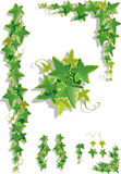 Ivy decorations. Vector illustration of ivy leaves on isolated background Stock Photo