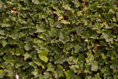 Ivy in detail Stock Photo