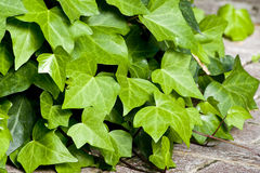 Ivy. Detail of ivy growing close to the ground Stock Image