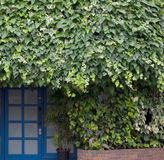 Ivy and door Royalty Free Stock Photos