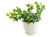 Ivy with drops of water. Green ivy in flowerpot isolated on white background Stock Photo